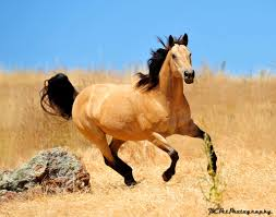mustang horse spirit. Ƒollow ൬e Ƒor ൬౦re↠ aliesemeyer ❂ buckskin horse- so gorgeous. i\u0027ve been in love with these horses since i was little (thanks to the movie spirit, mustang horse spirit