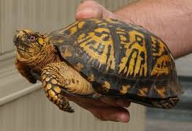 box turtle size bill pepins quest to build retirement home in hampden derailed by