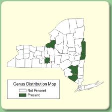 Iberis - Genus Page - NYFA: New York Flora Atlas - NYFA