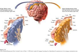 figure 2 17 left hemisphere tissue devoted to each body part in the motor cortex and the somatosensory cortex as you can see from this clic though