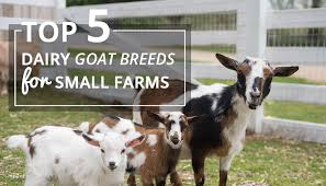 Dairy Goat Breeds Top 5 Dairy Goat Breeds For Small Farms