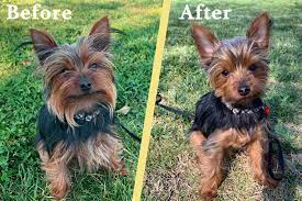 How much will it grow or do the real short haired yorkshire terriers you refer to as wirey chihuahua not grow any hair. Yorkie Puppy Cut Tips Diy Instructions The Dog Tale