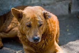 demodex mites dogs. Plain Demodex Demodex In Dogs For Mites G