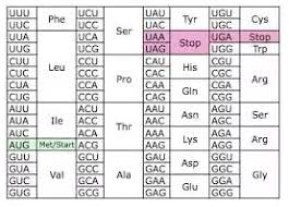 How To Memorize The Codons And Their Corresponding Amino