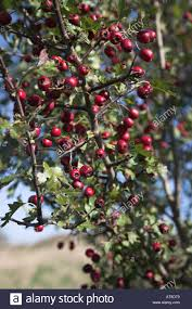 Plant Of The Month Hawthorn U2013 Philadelphia Orchard ProjectFruit Tree Hedgerow