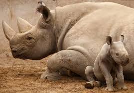 Image result for black rhino