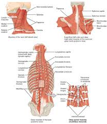 Low Back Pain A Guide For Coaches And Athletes On Anatomy