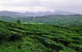 Hasil carian imej untuk Ladang Teh Sabah Tea