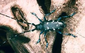 Asian Long Horned Beetle Control Missouri Department Of Conservation