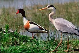 baie de somme oiseaux