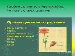Презентация на тему Презентация к уроку по окружающему миру  3 У любого растения есть корень стебель лист цветок плод с семенами