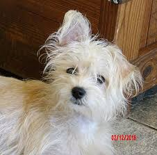 west highland white terrier maltese mix. Simple Maltese Adopted And West Highland White Terrier Maltese Mix 9