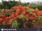 mimosa bush