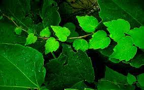 High Resolution Green Leaves Background ...