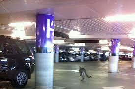 kangaroo loose in melbourne airport car park