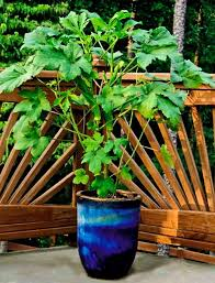 how to plant a garden. Growing Okra In Pots How To Plant A Garden