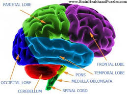 understanding speech in the brain an essay on the topic on an  labeled diagram human brain jpg