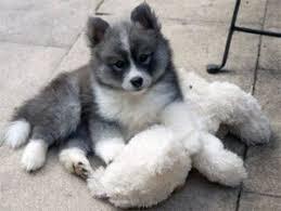 pomeranian husky full grown.  Pomeranian Pomsky Full Grown Size Dogs 101 The Adorable Pomeranian Husky Mix  Pomsky In