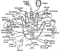 Korean Acupressure Chart Korean Hand Therapy Lafayette Walnut Creek East Bay