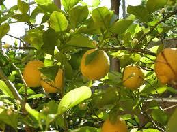 Best Grow Light For Citrus Tree Tips For Growing Lemons In The Garden Or Indoors