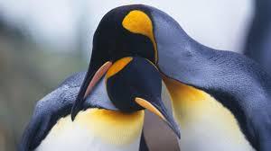 penguin love wallpaper. Beautiful Love Pinguin Love Inside Penguin Love Wallpaper