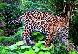 Животные влажных экваториальных лесов фото картинки видео  Ягуар