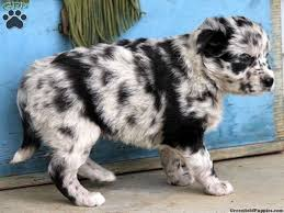 australian shepherd husky mix puppies. Australian Shepherd Husky Mix Puppies For Sale Zoe Fans Blog On