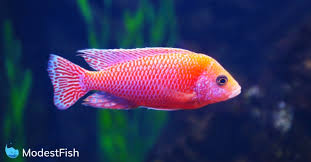 8 Best Cichlid Food For Max Health Color Growth