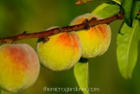 my husband always wanted a peach tree so i found a tropical peach that produces