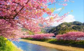 Bunga Sakura Mulai Februari Minggu Ini Kalian Sudah Bisa Melihat