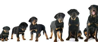 dog breed size chart use a puppy growth chart to determine size care com