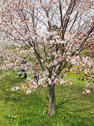 Bunga Sakura Bunga Sakura Berwarna Putih Di Jepang Picture Of Goryokaku