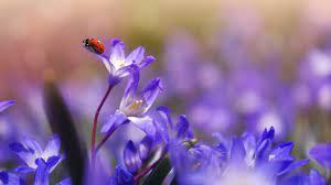 Ladybug on Purple Flower Wallpaper ...
