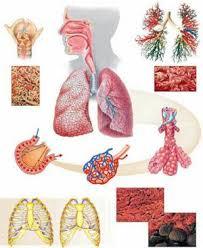 дыхания человека Органы дыхания человека
