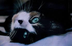 black cat with blue eyes tumblr.  Black BlackblueblueeyescatFavimcom488243jpg And Black Cat With Blue Eyes Tumblr Y