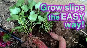 purple sweet potato plant. Brilliant Sweet Throughout Purple Sweet Potato Plant T