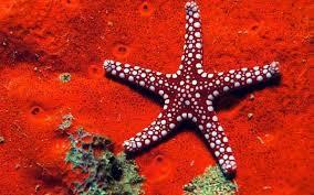 Морские звезды морские звезды asteroidea строение физиология  Морские звезды asteroidea