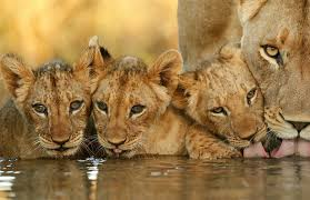 15 lion facts you need to know africa
