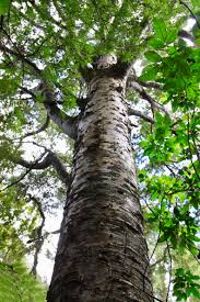 Image result for kauri