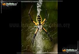 thumbnail image 3 of the black and yellow garden spider