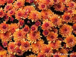 fall garden flowers. Top 15 Fall Blooming Flowers For A Perennial Garden U