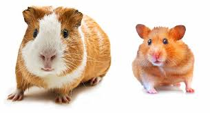 hamster vs guinea pig which pet is