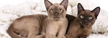Burmese Kitten Weight Chart Burmese Cat Breed Facts And Personality Traits Hills Pet