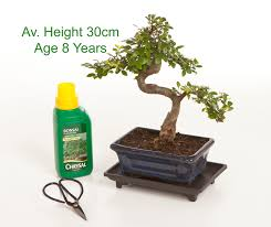 8 year old chinese elm indoor bonsai tree gift set available to from all