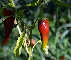 What Makes Chili Peppers Hot And Spicy