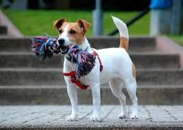 Jack Russel Terrier Fun Facts And Crate Size Pet Crates