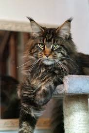 Maine Coon Growth Chart Brown Maine Coon How To Keep A Maine Coon Growth Chart
