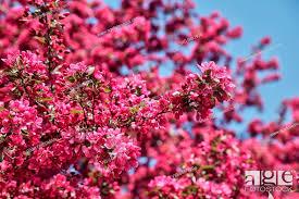 dark pink flowers bursting into bloom