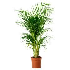 Gouden palm plant