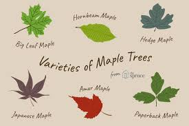 Ohio Leaf Identification Chart 13 Beautiful Species Of Maple Trees
